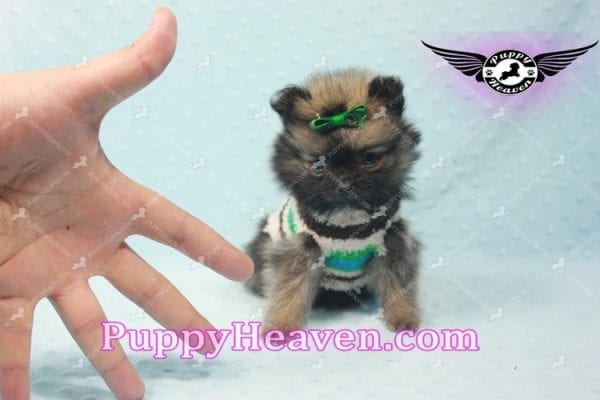 Diamond King - Micro Pomeranian -10811