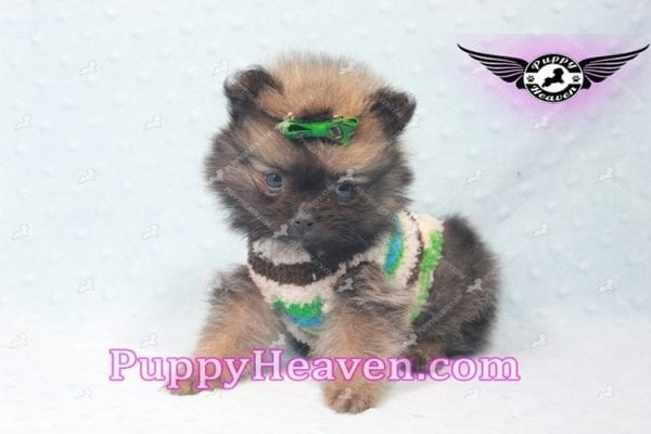 Diamond King - Micro Pomeranian -10818