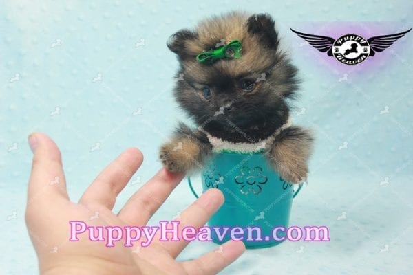 Diamond King - Micro Pomeranian -10819