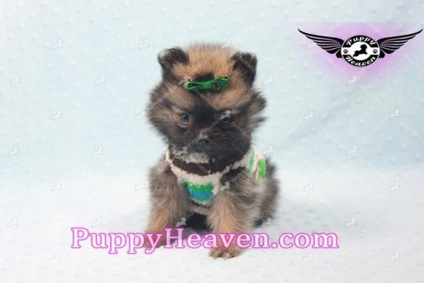 Diamond King - Micro Pomeranian -10817