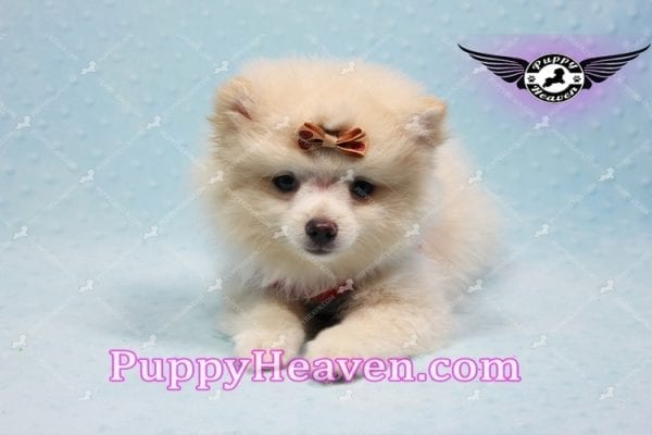 Dog With a Blog - Pomeranian Puppy has found a good loving home with Annette from Pahrump, NV 89048-10972