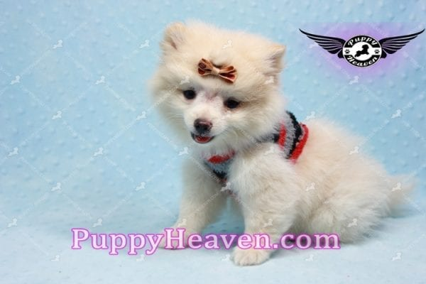 Dog With a Blog - Pomeranian Puppy has found a good loving home with Annette from Pahrump, NV 89048-10970