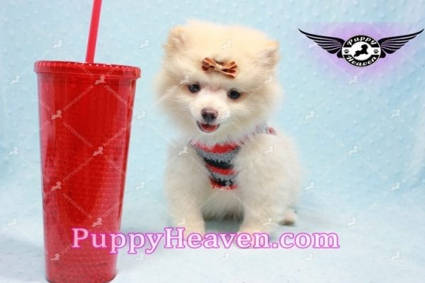 Dog With a Blog - Pomeranian Puppy has found a good loving home with Annette from Pahrump, NV 89048-0