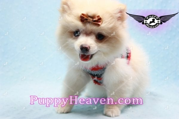 Dog With a Blog - Pomeranian Puppy has found a good loving home with Annette from Pahrump, NV 89048-10969