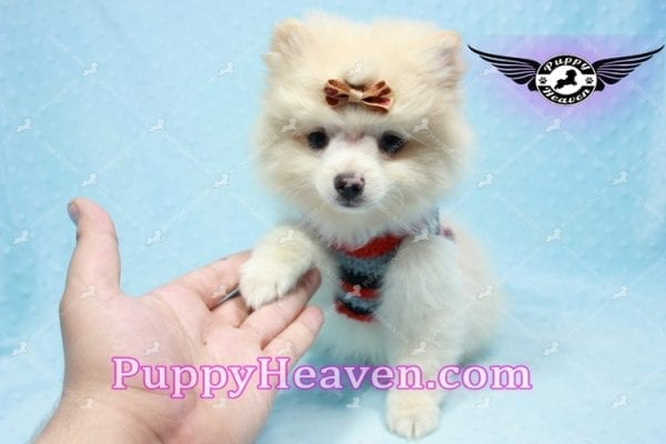 Dog With a Blog - Pomeranian Puppy has found a good loving home with Annette from Pahrump, NV 89048-10966