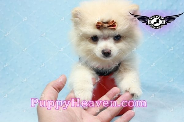 Dog With a Blog - Pomeranian Puppy has found a good loving home with Annette from Pahrump, NV 89048-10965