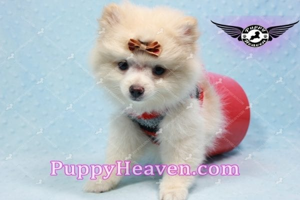 Dog With a Blog - Pomeranian Puppy has found a good loving home with Annette from Pahrump, NV 89048-10971