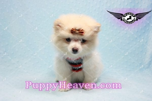 Dog With a Blog - Pomeranian Puppy has found a good loving home with Annette from Pahrump, NV 89048-10968