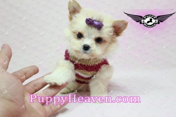Dory - Teacup Pomshi Puppy in L.A -10908