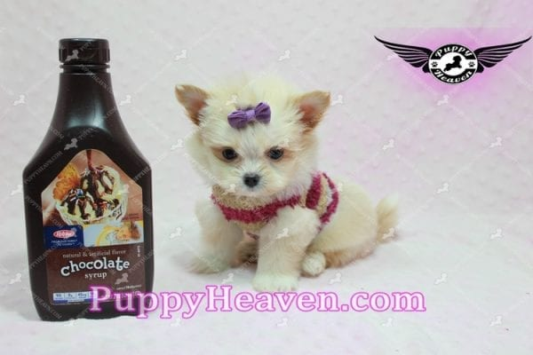 Dory - Teacup Pomshi Puppy in L.A -10901