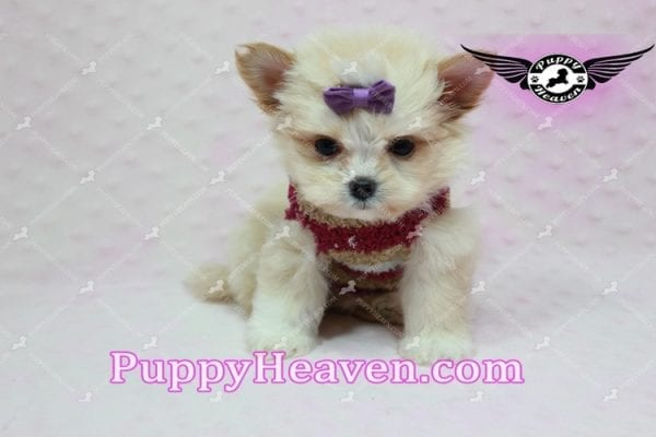 Dory - Teacup Pomshi Puppy in L.A -10905
