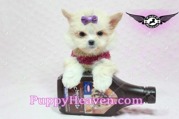 Dory - Teacup Pomshi Puppy in L.A -10907