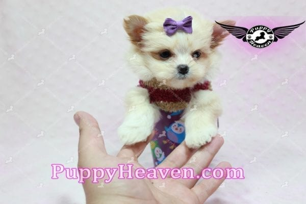 Dory - Teacup Pomshi Puppy in L.A -10903