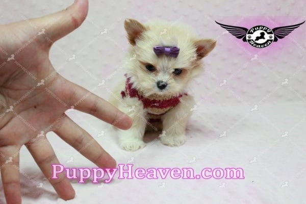 Dory - Teacup Pomshi Puppy in L.A -10906