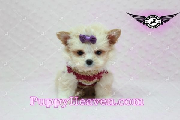 Dory - Teacup Pomshi Puppy in L.A -10904
