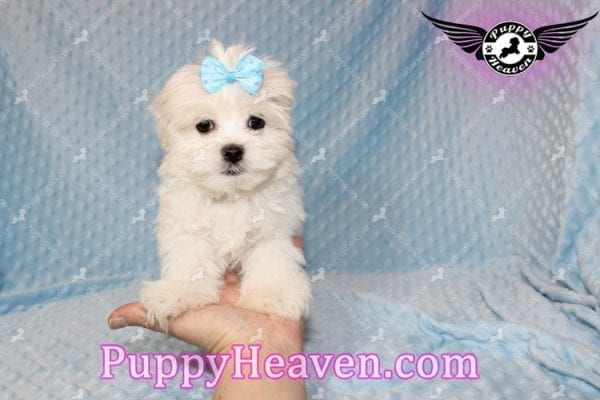 Family Guy - Teacup Maltese Puppy has found a good loving home with Robert from Las Vegas, NV 89144-7806