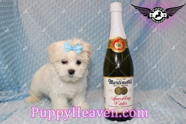 Family Guy - Teacup Maltese Puppy has found a good loving home with Robert from Las Vegas, NV 89144-0