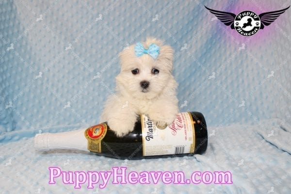 Family Guy - Teacup Maltese Puppy has found a good loving home with Robert from Las Vegas, NV 89144-7805
