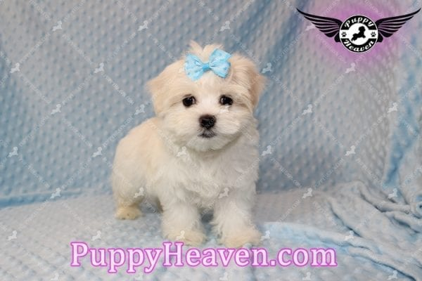 Family Guy - Teacup Maltese Puppy has found a good loving home with Robert from Las Vegas, NV 89144-7807