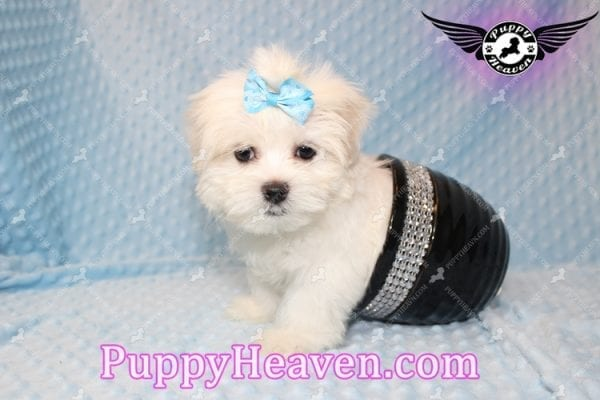 Family Guy - Teacup Maltese Puppy has found a good loving home with Robert from Las Vegas, NV 89144-7809