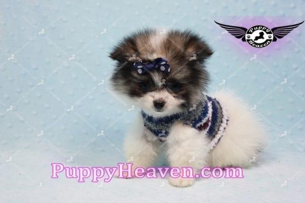 Fluff Ball - Micro Pomeranian Puppy -10978