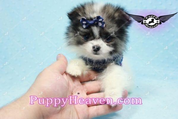 Fluff Ball - Micro Pomeranian Puppy -10979