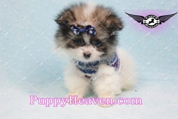 Fluff Ball - Micro Pomeranian Puppy -10981