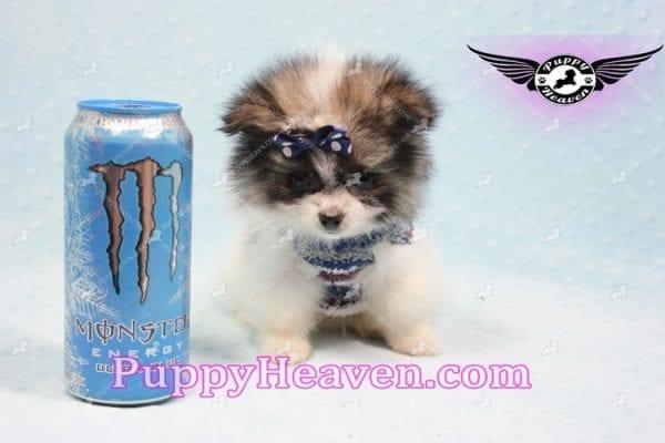 Fluff Ball - Micro Pomeranian Puppy -0
