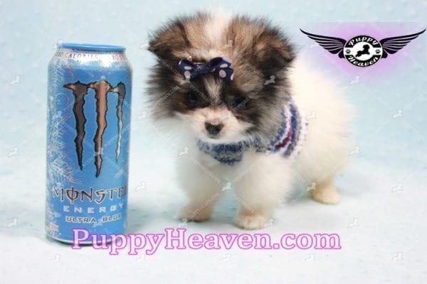 Fluff Ball - Micro Pomeranian Puppy -10980