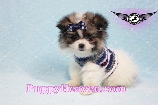 Fluff Ball - Micro Pomeranian Puppy -10974