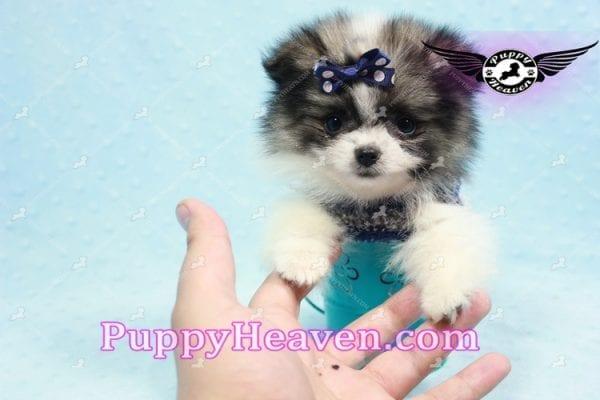 Fluff Ball - Micro Pomeranian Puppy -10975