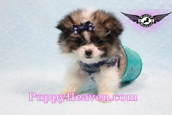 Fluff Ball - Micro Pomeranian Puppy -10973