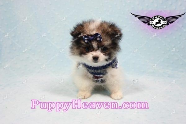 Fluff Ball - Micro Pomeranian Puppy -10982