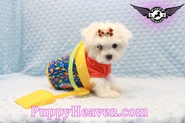 Frosty - Teacup Maltese Puppy Has Found A Loving Home With Lisa in Las Vegas, NV 89134!-11161