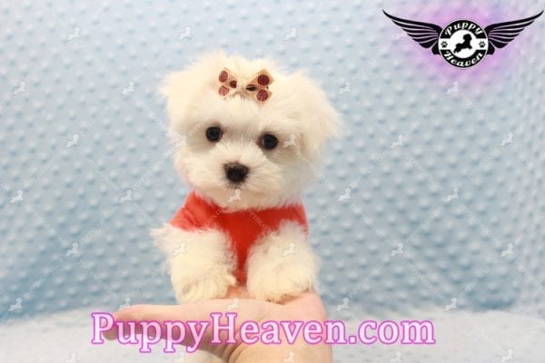 Frosty - Teacup Maltese Puppy Has Found A Loving Home With Lisa in Las Vegas, NV 89134!-0