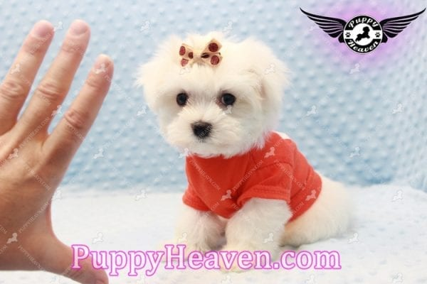 Frosty - Teacup Maltese Puppy Has Found A Loving Home With Lisa in Las Vegas, NV 89134!-11158