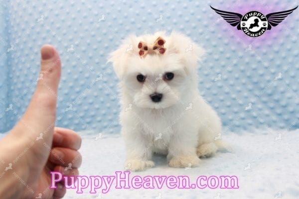 Frosty - Teacup Maltese Puppy Has Found A Loving Home With Lisa in Las Vegas, NV 89134!-11155