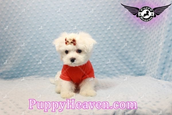 Frosty - Teacup Maltese Puppy Has Found A Loving Home With Lisa in Las Vegas, NV 89134!-11159