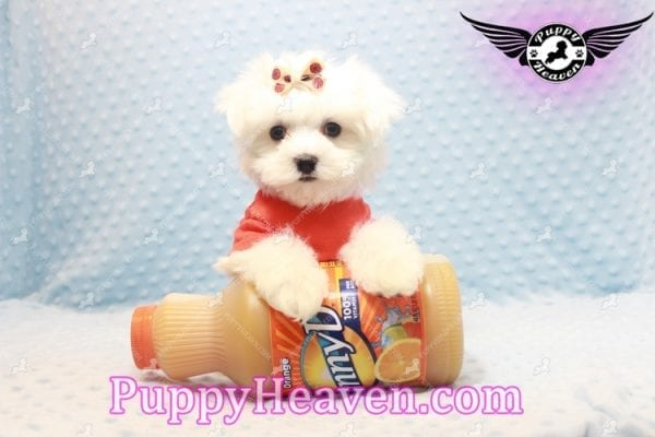 Frosty - Teacup Maltese Puppy Has Found A Loving Home With Lisa in Las Vegas, NV 89134!-11157