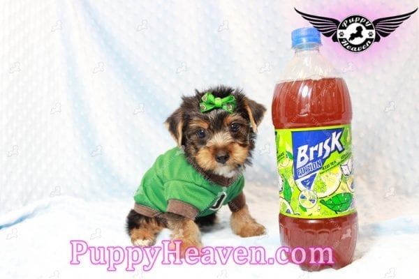H&M - Toy Yorkie Puppy has found a good loving home with MATTHEW FROM LAS VEGAS, NV 89113-11277