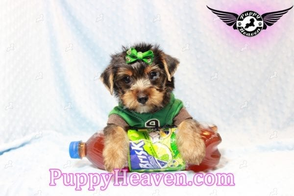 H&M - Toy Yorkie Puppy has found a good loving home with MATTHEW FROM LAS VEGAS, NV 89113-11271