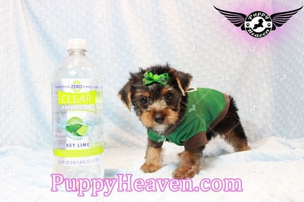 H&M - Toy Yorkie Puppy has found a good loving home with MATTHEW FROM LAS VEGAS, NV 89113-11272