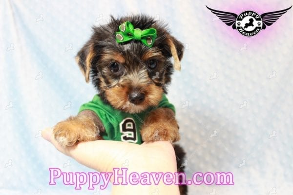 H&M - Toy Yorkie Puppy has found a good loving home with MATTHEW FROM LAS VEGAS, NV 89113-0
