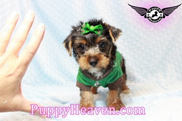 H&M - Toy Yorkie Puppy has found a good loving home with MATTHEW FROM LAS VEGAS, NV 89113-11270