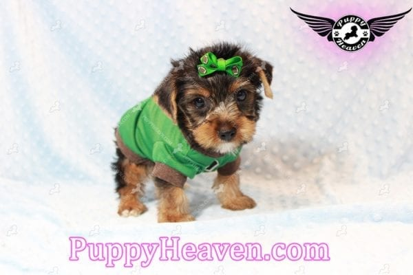 H&M - Toy Yorkie Puppy has found a good loving home with MATTHEW FROM LAS VEGAS, NV 89113-11273