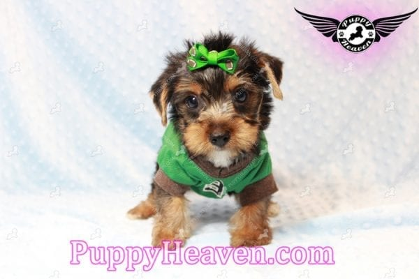 H&M - Toy Yorkie Puppy has found a good loving home with MATTHEW FROM LAS VEGAS, NV 89113-11274