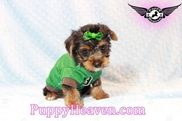 H&M - Toy Yorkie Puppy has found a good loving home with MATTHEW FROM LAS VEGAS, NV 89113-11276