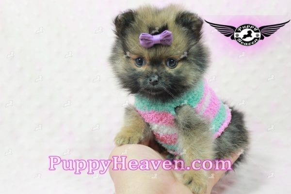 Lily - Micro Teacup Pomeranian Puppy -10855