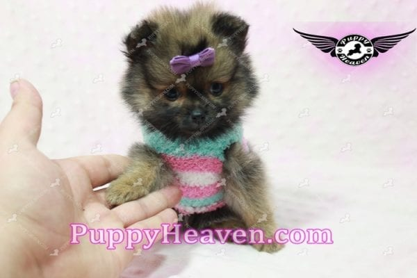 Lily - Micro Teacup Pomeranian Puppy -10851