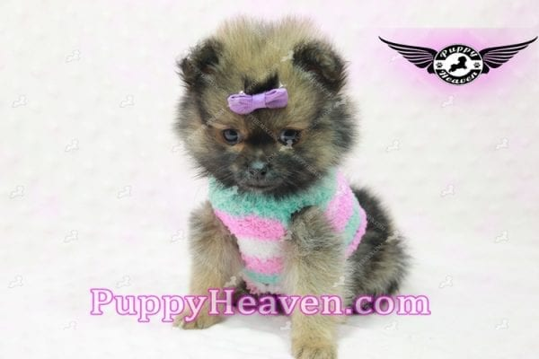 Lily - Micro Teacup Pomeranian Puppy -10853